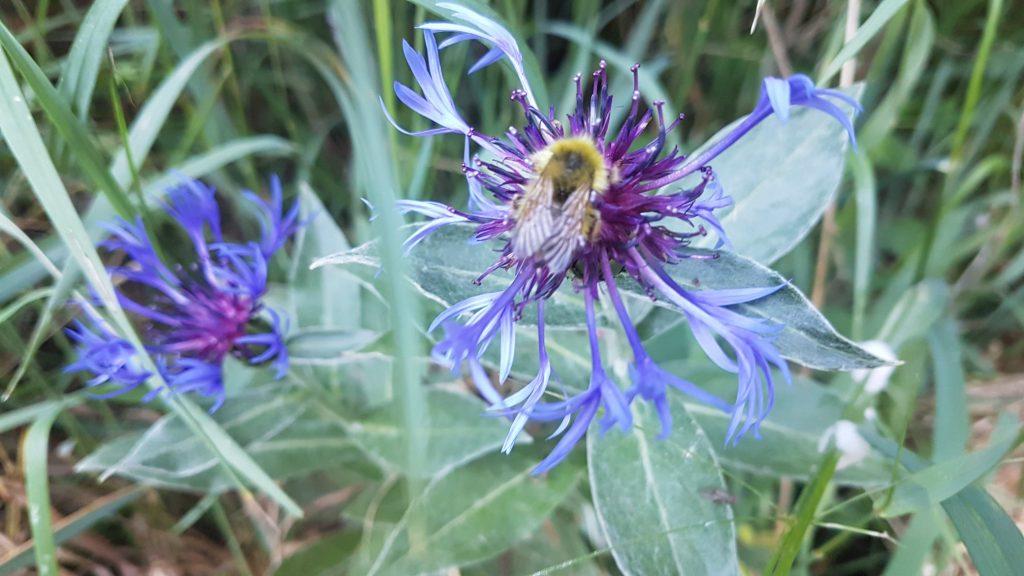Bee on the Phacelia